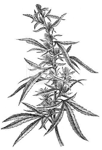 Drawn pot plant jamaican Plant plant that sativa a