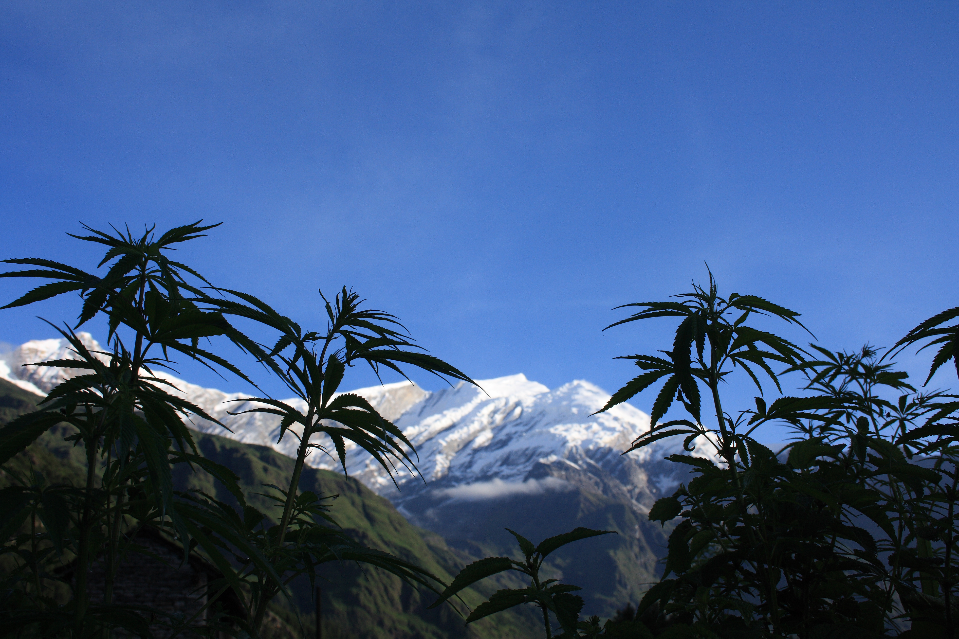 Drawn pot plant jamaican Heard Have Photo Cannabis? You
