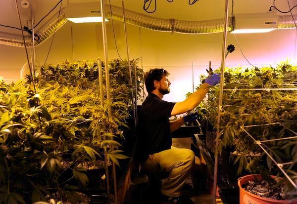 Drawn pot plant nugget At Nick cultivation Denver Marijuana: