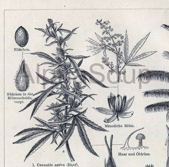 Drawn pot plant sativa Up Renderings on 34 Antique