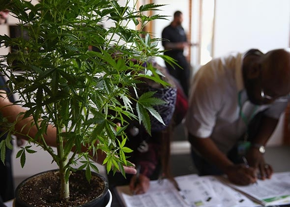 Drawn pot plant seven Stanley farm: legalization their Colorado's