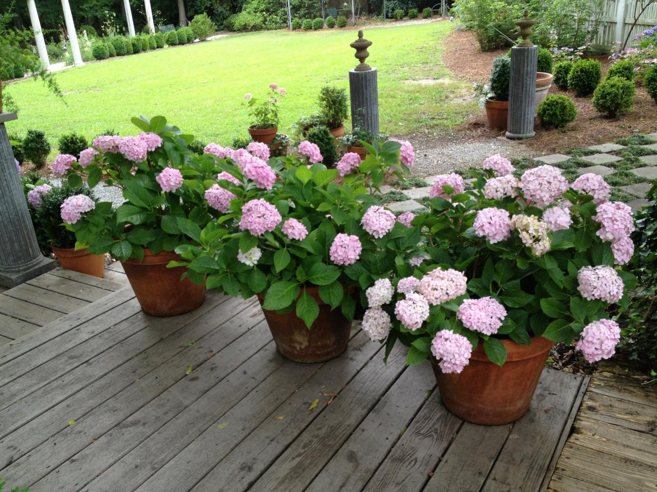 Drawn pot plant sick In Pots Pots Hydrangeas in