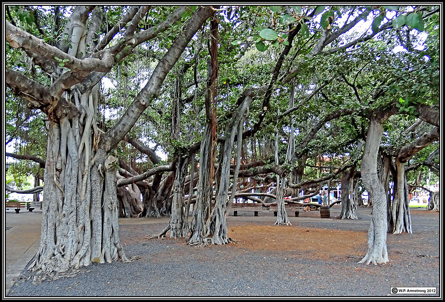 Drawn pot plant the word 2) Maui benghalensis) giant acre