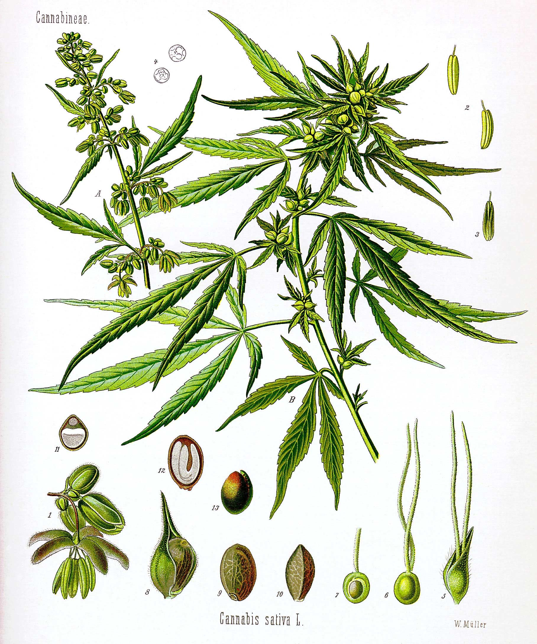 Drawn pot plant weed bud To basics you growing Buds
