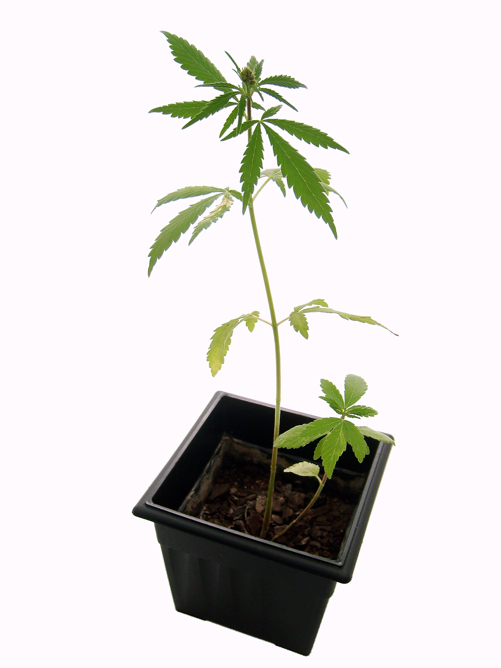 Drawn pot plant weed tree Are Plant Photo Telling Nodes