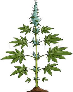 Drawn pot plant weed tree Https://www Image erowid for org/plants/cannabis