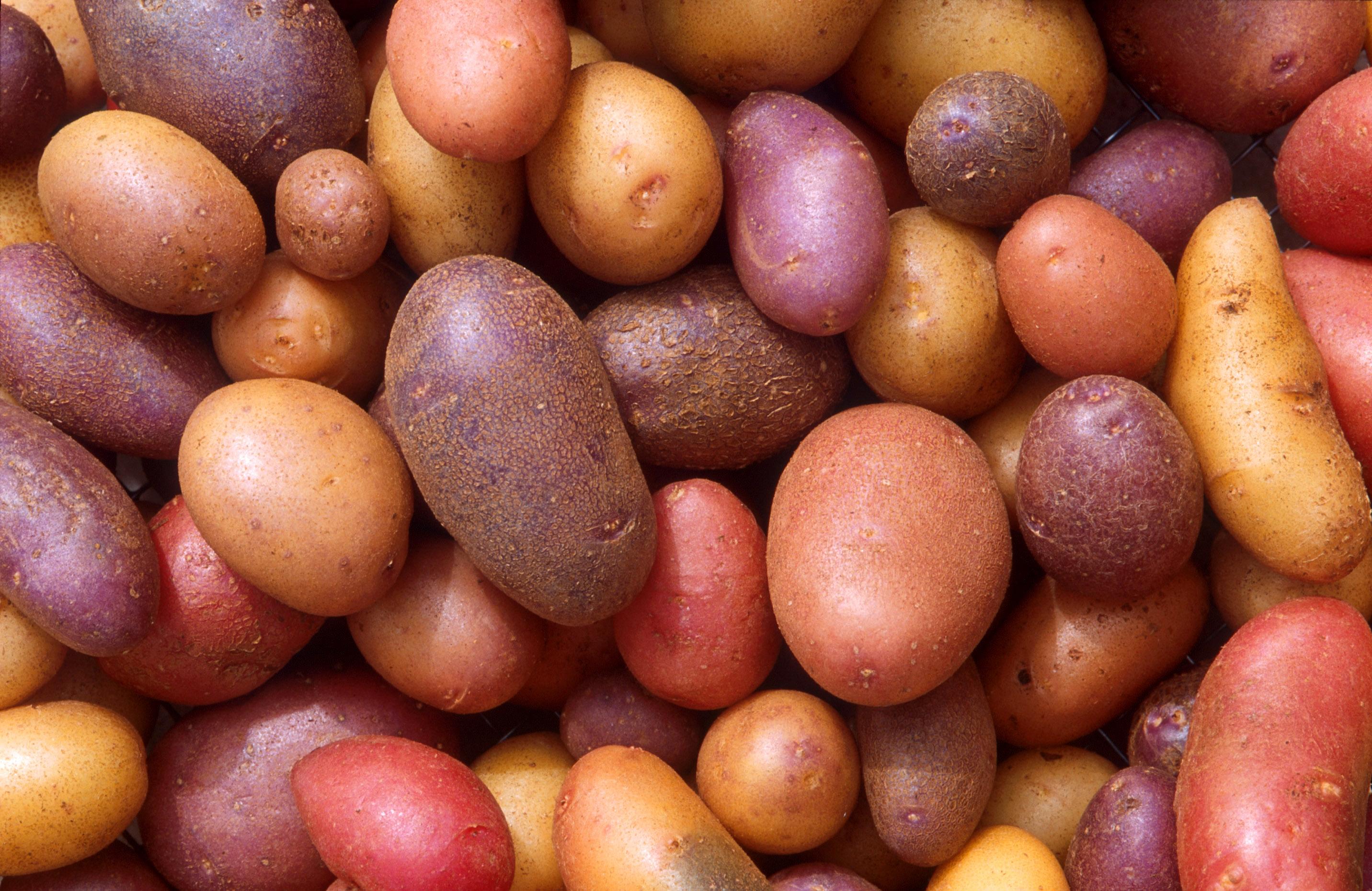 Drawn potato Potato Potato Gardener Blogs primer