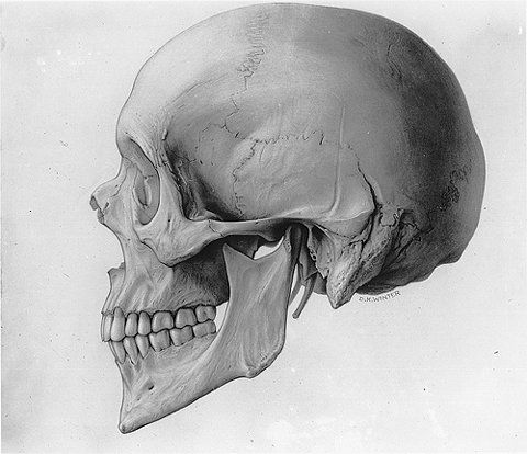 Drawn profile skull Images & view Pinterest ANATOMY