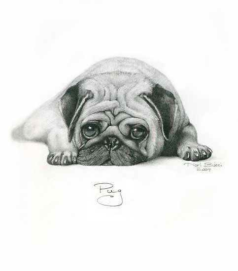 Drawn pug ashamed Sketch on best more images