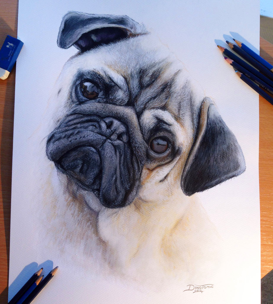 Drawn pug daily Color the Pencil Drawings world