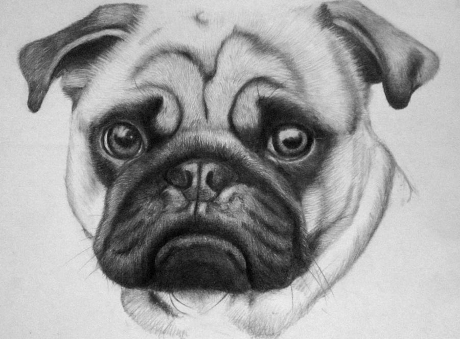 Drawn pug face Pug Magdalena888 on Pug by