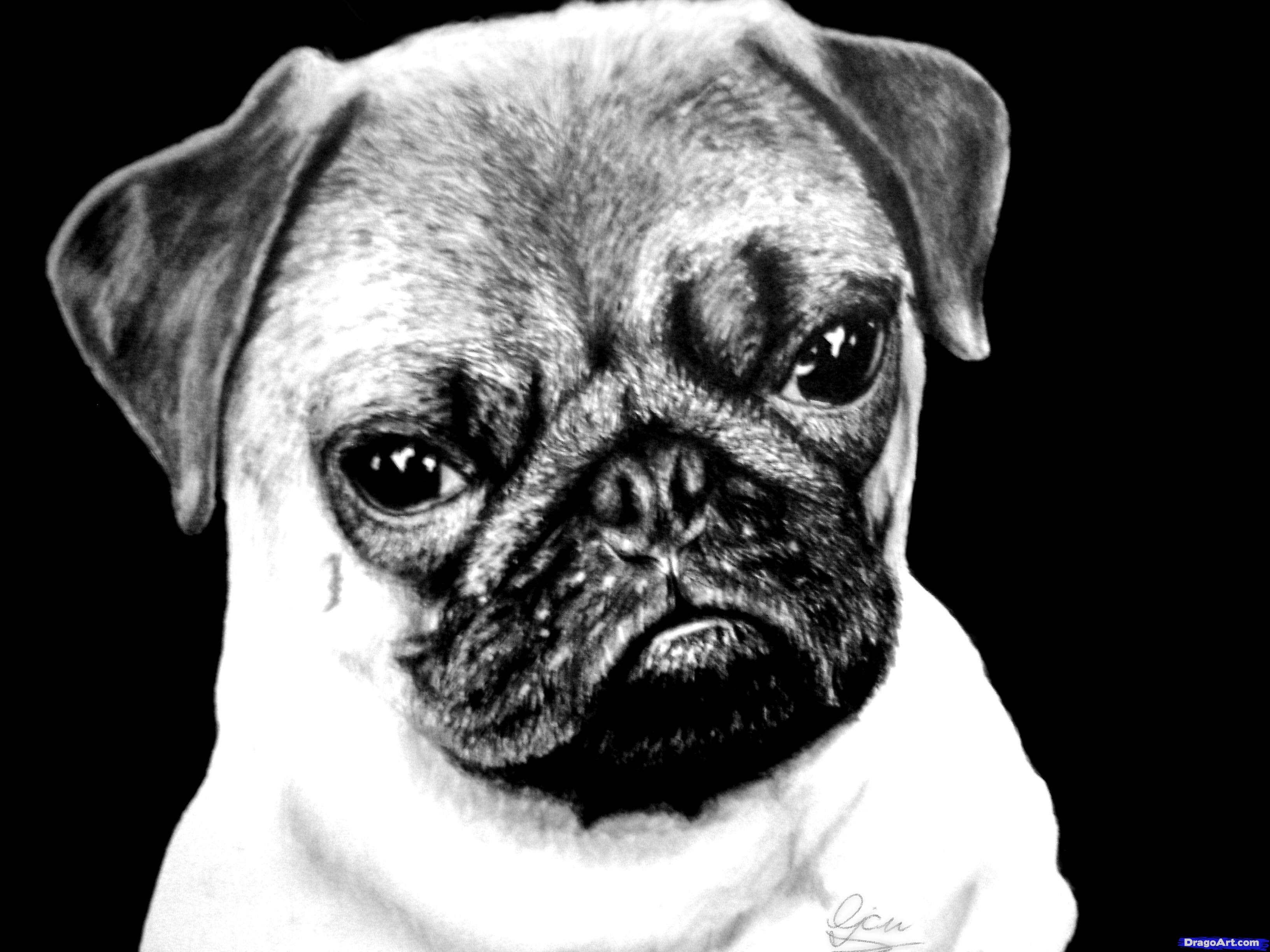 Drawn pug head Step slideshow Animals image Learn
