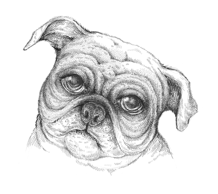 Drawn pug ink Eugenia A 11 New Hauss