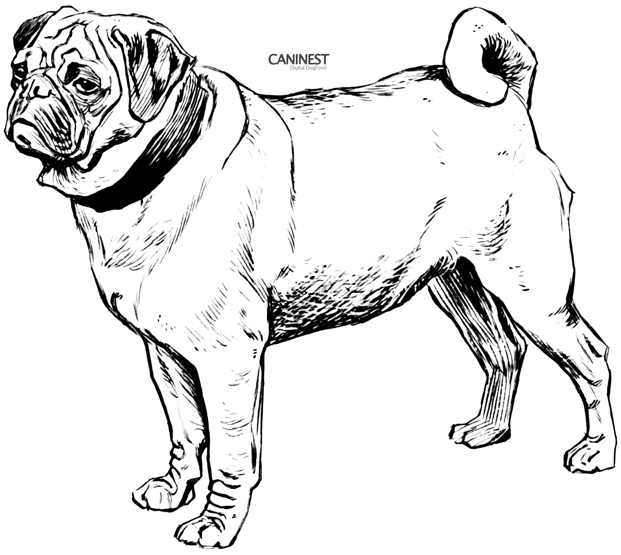 Drawn pug line drawing Puppy For  For Golden