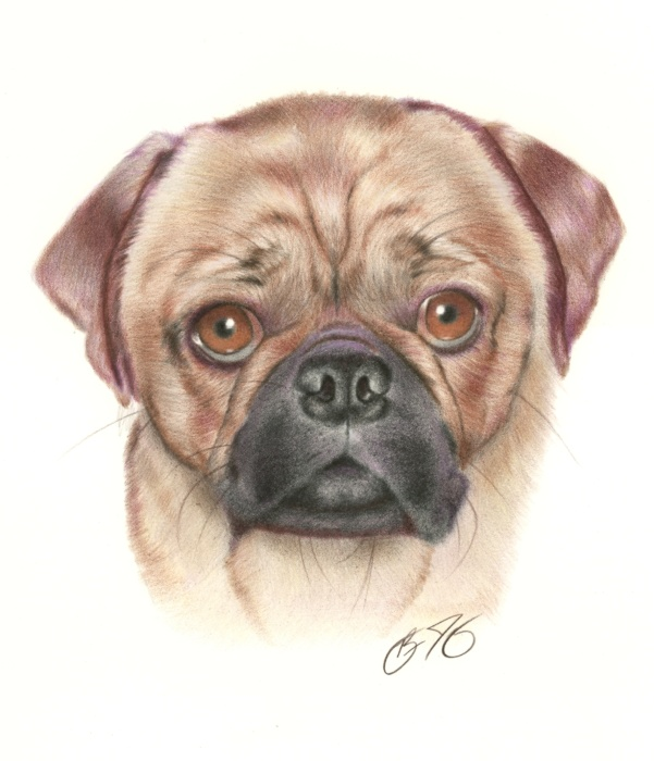 Drawn pug pencil drawing Pencil design colored  drawing