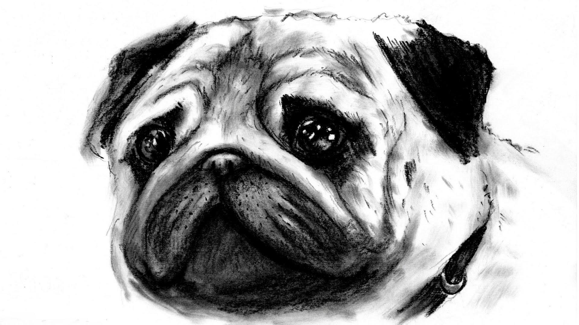 Drawn pug pug dog / (realistic) ( disegnare speed