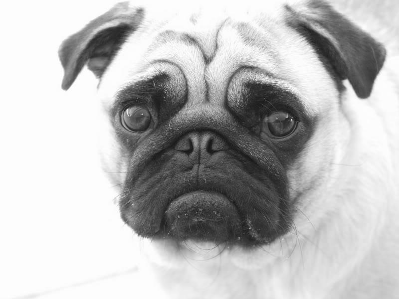 Drawn pug pug dog Drawing pencil Forum • topic