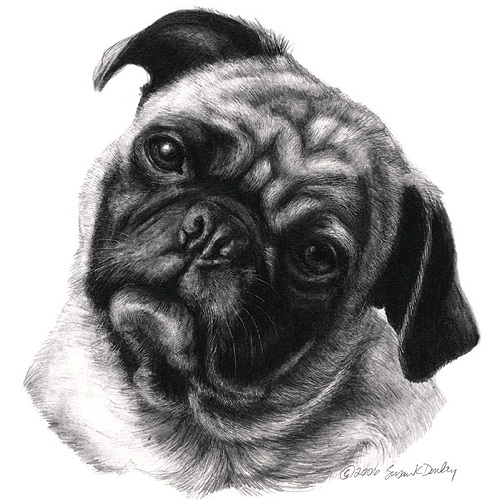 Drawn pug sketch Pencil Portrait  apparel Pug