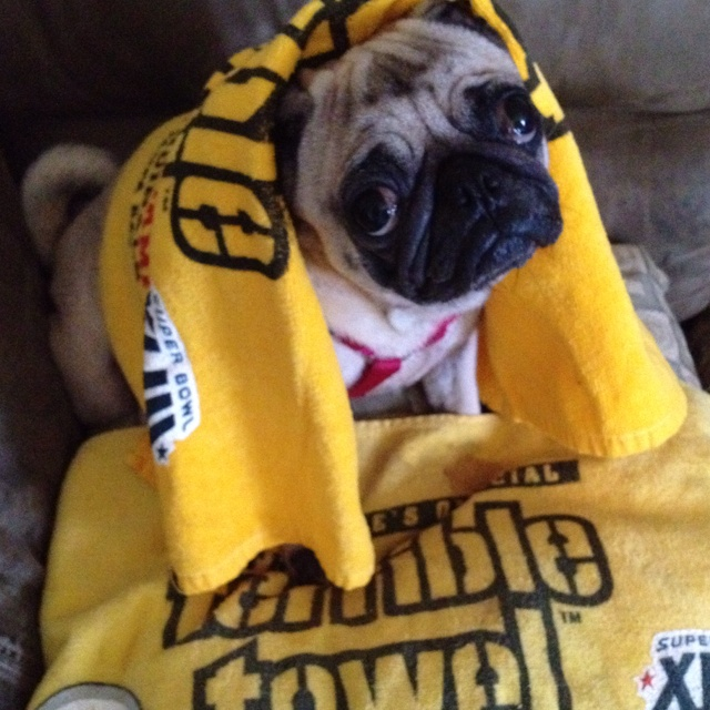 Drawn pug supe The are on Steelers Steelers