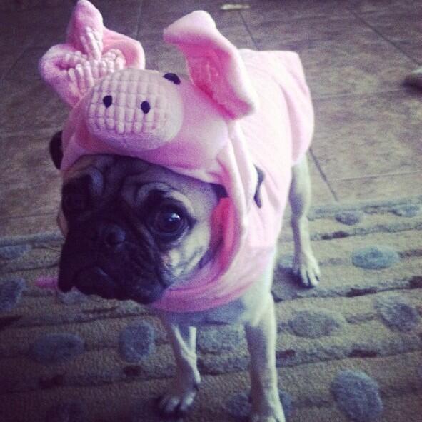 Drawn pug supe Pig dressed Pug Pug as