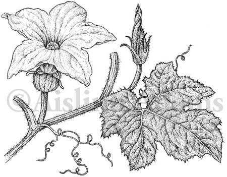 Drawn pumpkin pumpkin flower Drawing Black Curcurbito Aislinn pepo