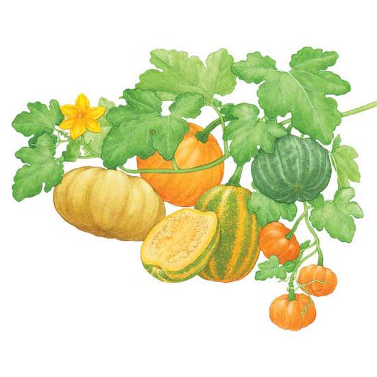 Drawn pumpkin pumpkin flower Organic About  NEWS Gardening