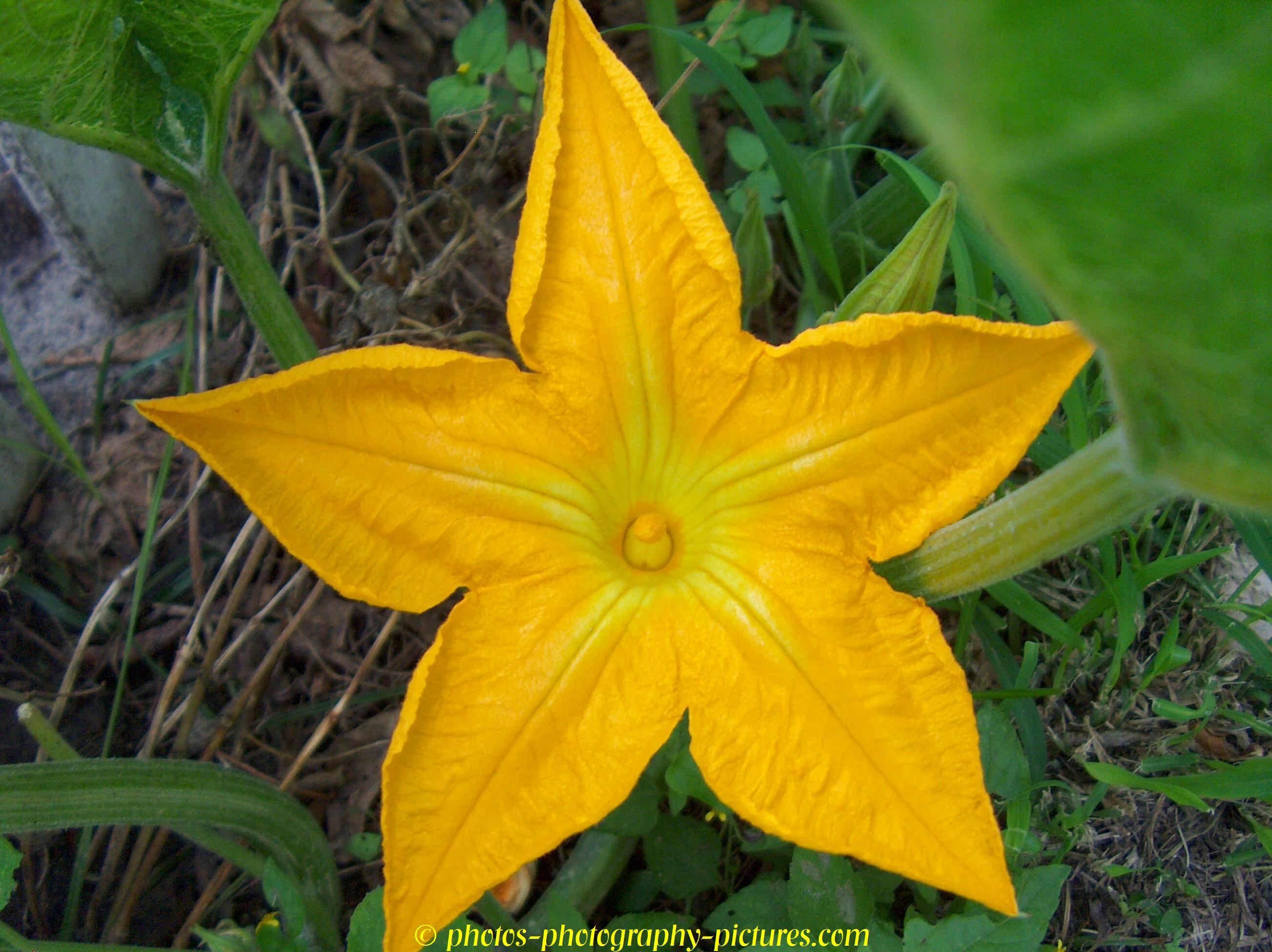 Drawn pumpkin pumpkin flower Flower Flower Pumpkin Flowers Pumpkin