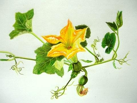 Drawn pumpkin vine Pumpkin  [Archive] WetCanvas blossom