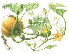 Drawn pumpkin vine To Clipart this strategies Vine