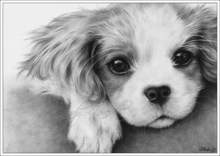 Drawn puppy charcoal Drawings by charcoal Zindy Puppy
