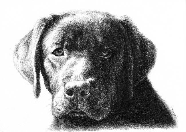 Drawn puppy lab puppy Lab Skylar Andrea – brown