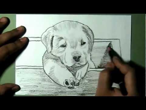Drawn puppy lab puppy In puppy to Labrador Box