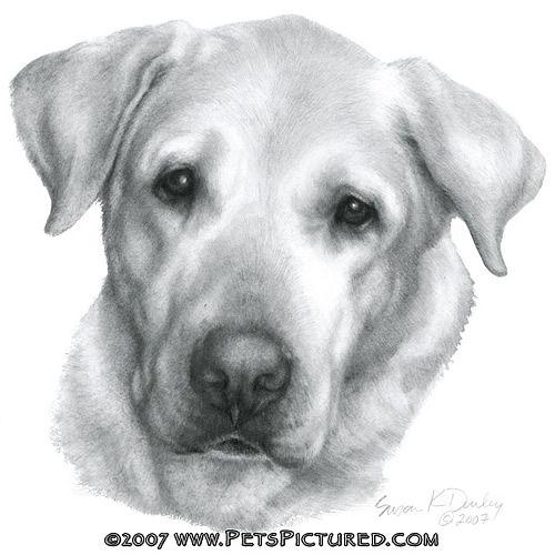Drawn puppy lab puppy Labrador labrador & to Alex