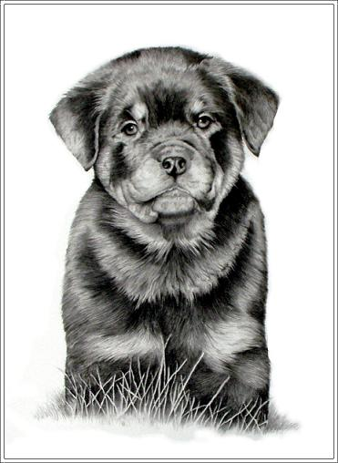 Drawn puppy rottweiler puppy Constantly Always Canada making an