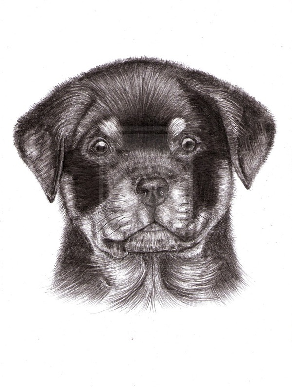 Drawn puppy rottweiler puppy Drawings Puppy Related Rottweiler Drawing