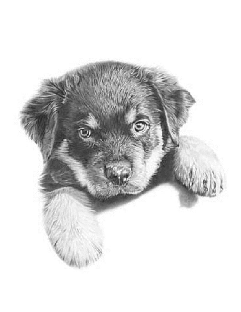 Drawn puppy rottweiler puppy Rottweilers a Canada Stacey Breeder
