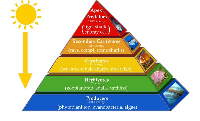 Drawn pyramid easy Pyramids 3 Number of Biomass