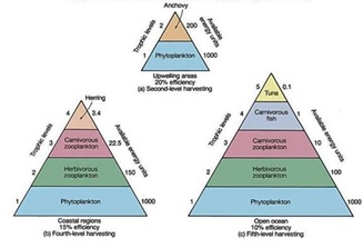 Drawn pyramid eltonian Ecology pyramid Basic Conservation and