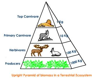 Drawn pyramid eltonian With Biology Numbers Terrestrial Pyramid
