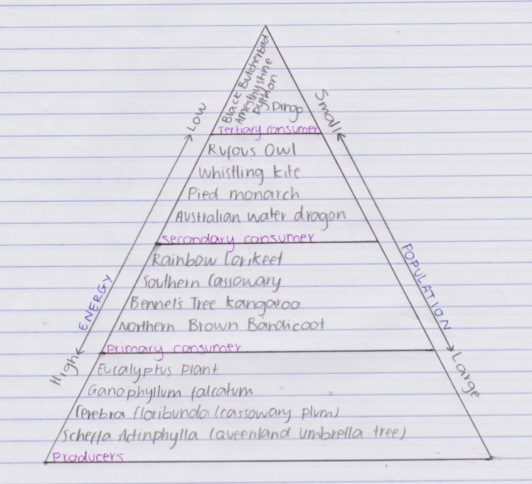 Drawn pyramid food chain Daintree energy chain emaze Rainforest