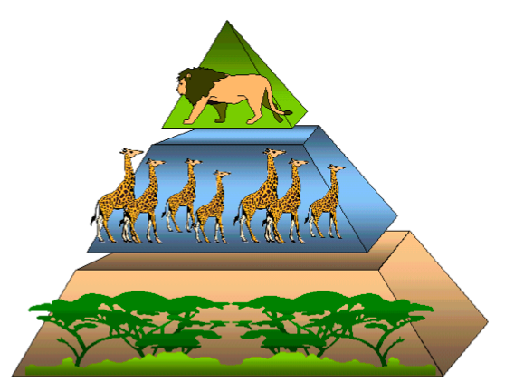 Drawn pyramid food chain MpalaLive shrubs energy and giraffes