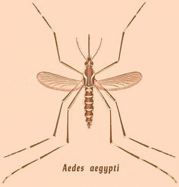 Drawn quoth dengue Drawing of Practice Aedes Pathophysiology
