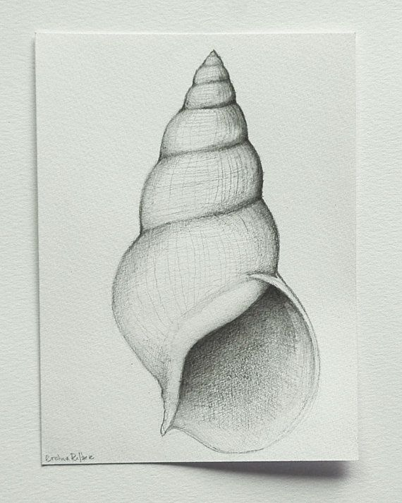 Drawn sea life shell 00 graphite on images drawing