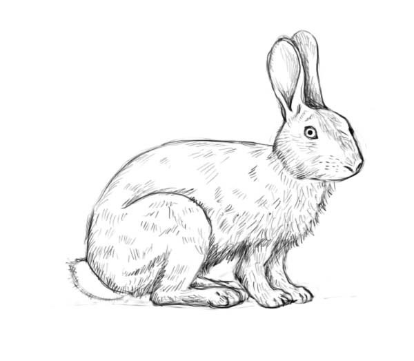 Drawn rabbit To Complete a rabbit –