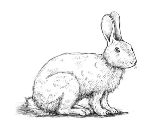 Drawn rabbit To The a rabbit –