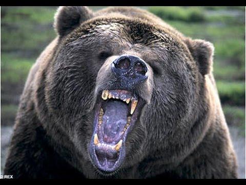 Drawn rabbid bear  Attack! Animal Rabid YouTube