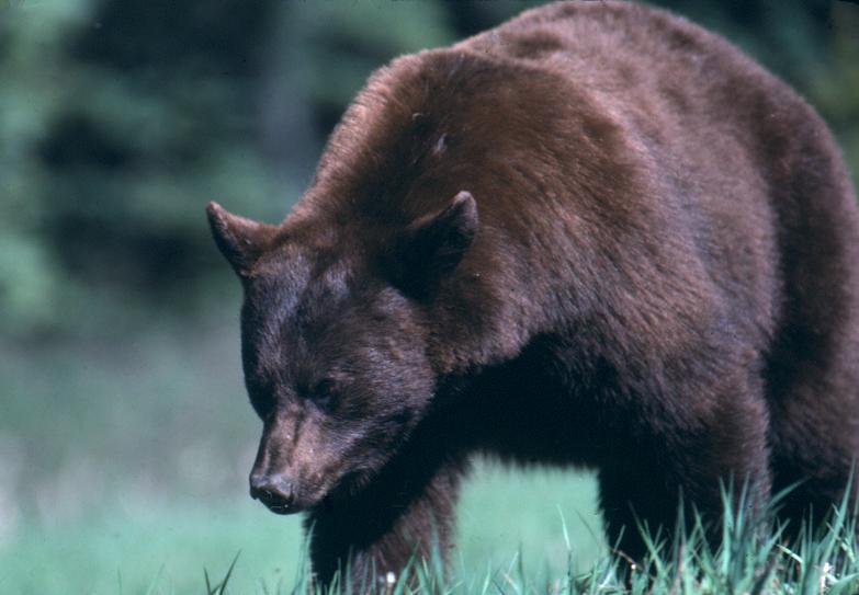 Drawn rabbid bear This BEAR case BEAR