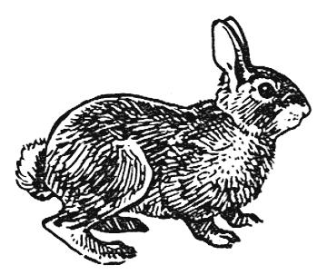 Drawn rabbid cottontail rabbit /Cottontail_rabbit_BW Cottontail /animals/R/rabbit/rabbits rabbit rabbit