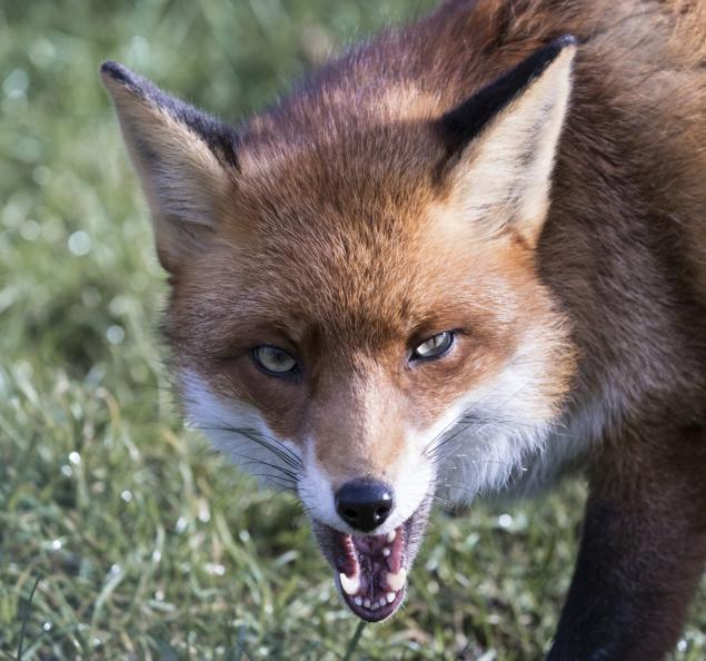 Drawn rabbid fox To shows Pregnant N C