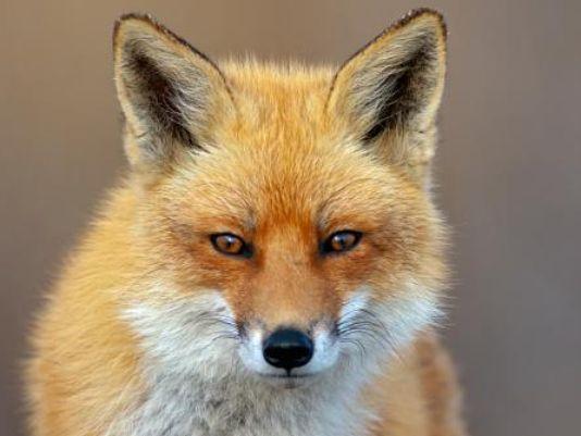Drawn rabbid fox Fox Possibly cat rabid in